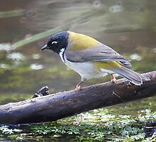 the black-headed honey-eater by Alenka Co