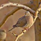 Morning Mourning Dove by SB  Sullivan