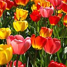 Vibrant Tulips by Lee d'Entremont