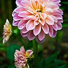 Dahlia by Paul-M-W