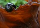 Snail on Tree-ear Fungi by elasita