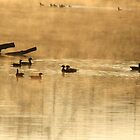 Wood ducks at sunrise by ffuller