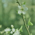 Dreamy Blackthorn by jonshort58