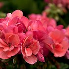 Salmon Pink Geranium. by Billlee