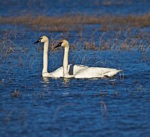 Two Swans A Swimming by Tim Denny