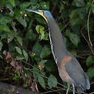 Bare-throated Tiger Heron - Tortuguero National Park by Stephen Stephen