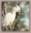 An Egret by Betsy  Seeton