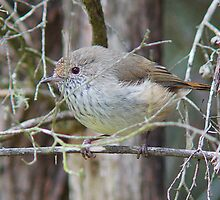 Tasmanian Thornbill today at the pond by Ron Co