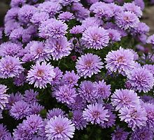 Lavender Chrysanthemum by AnnDixon
