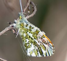 Orange Tip by Gill Langridge