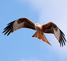Red Kite in flight by Grant Glendinning