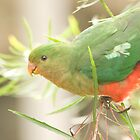 Australian King Parrot at Sheepyard Flat #1 by Aden Brown