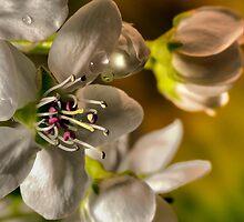 White Blossom  by LudaNayvelt