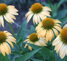 Pretty Coneflowers by Carolyn  Fletcher