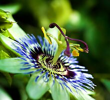 Passion flower by Andrew Berends