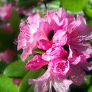 Rhododendron Bloom 2 by debbiedoda