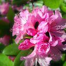 Rhododendron Bloom 2 by debbiedoda