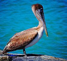 Pelican by joevoz