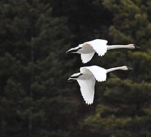 Trumpeter Swans in Flight by KansasA