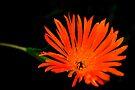 Lampranthus  Orange by lynn carter