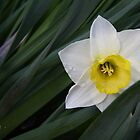 Daffodil by Rod J Wood