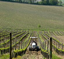 tractor between the grapevines by Anne Scantlebury