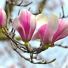 Magnolias...one two three open softly by Poete100