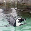 Swimming Penquin at Mystic Aquarium by Jane Neill-Hancock