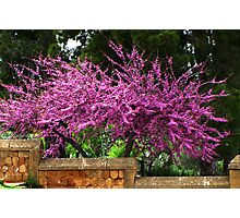 Judas Tree Photographic Print