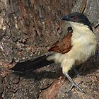 Coucal uncovered........... by Macky