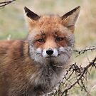 Red Fox 3358 by DutchLumix