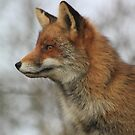 Red Fox 3459 by DutchLumix