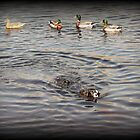 Swimming with the ducks by shelleybabe2