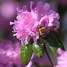 Bumble Bees LOVE Azaleas! by Gene Walls