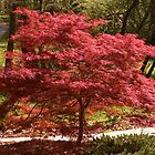Japanese Maple by Otto Danby II