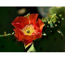 Orange Prickly Pear Blossom  Photographic Print