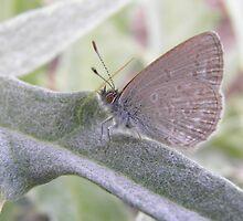 Common Grass Blue Butterfly ( Zizina labradus) - Skye, South Australia by Dan & Emma Monceaux