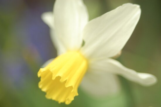 Daffodil by Matthew Folley