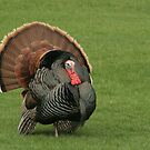 Wild Turkey by ffuller