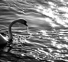 The white swan in the sundown by Ronny Falkenstein
