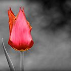 Tulip by Fern Blacker