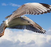Gull's Flight - Lennox Head by Daniel Rankmore