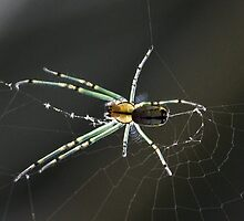 Female Mabel Orchard Spider by Otto Danby II