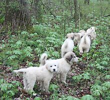 Leading The Way 6 Pyr Puppies by goldnzrule