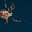 Orb Weaver, Botany Bay by Erik Schlogl