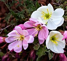 Evening Primrose by Kim Barton