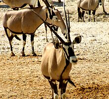 Oryx and Zebra by Carole-Anne