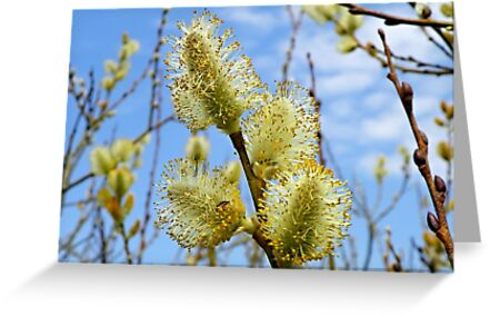 Catkins in spring by Robin Simmons