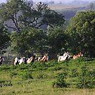 Gypsy Herd running uphill at Magic Gypsy Ranch by Linda Woods