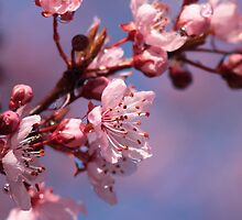 Cherry Blossoms on Blue by Jillian Johnston